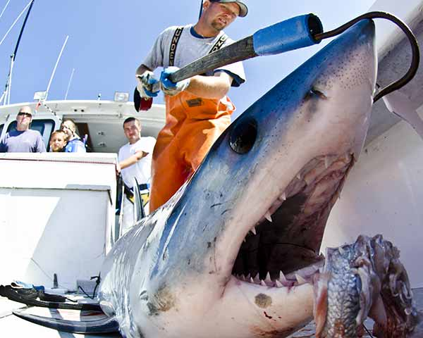 Cape Cod shark fishing